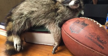 XBOX 'Jericho' The Raccoon